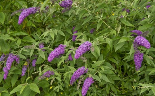 buddleia-flowers_2317869b