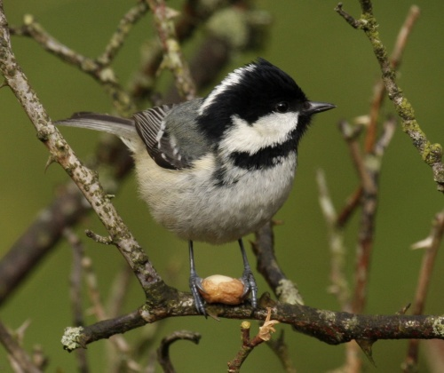 Coal_tit_UK09 wiki