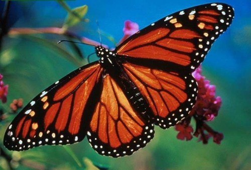 Monarch-Butterfly-earth-lovers-8585417-800-600