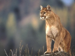 Mountain-Lion-Wallpapers