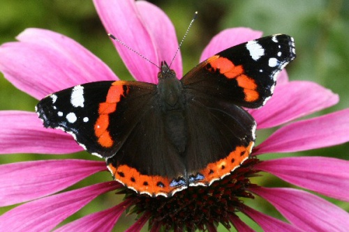 Red-Admiral-Photos