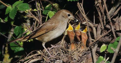 Common-nightingale-feeding-chicks-at-nest
