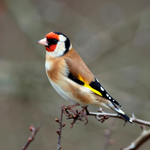 Goldfinch_x