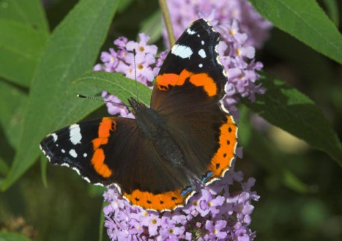 red-admiral-upperwing1_peter-eeles-web