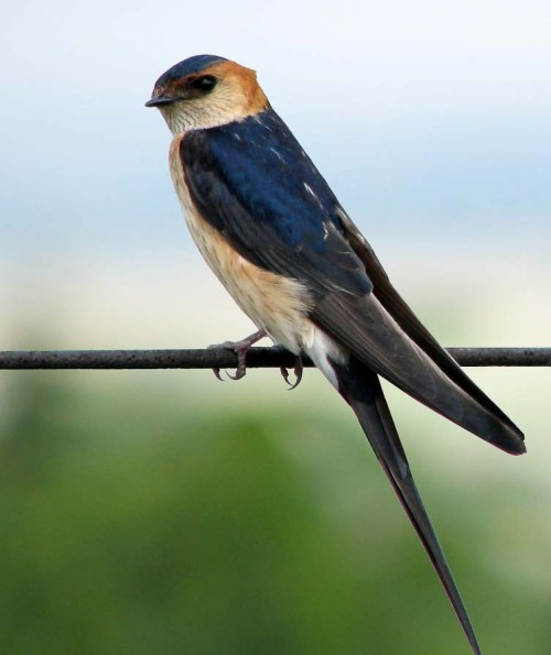 Red-rumped-Swallow WIRE xxxxxxxx