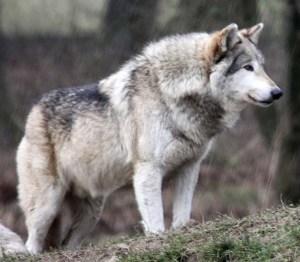 wolf 1 xxxxx