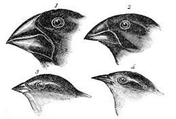 darwin finches ccccccc