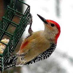 red_bellied_woodpecker_zzzzzzz