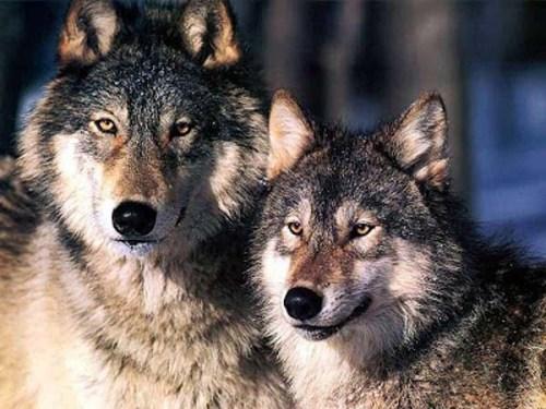 2 wolvers zzzzzzzz
