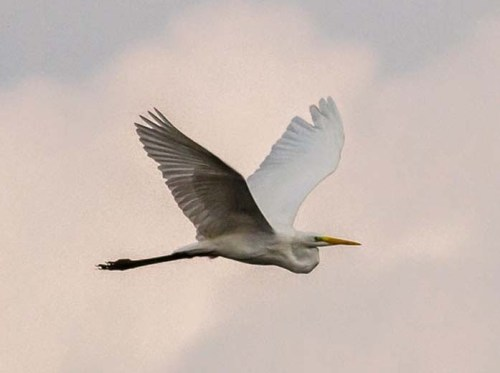 02343-Great-Egret-043xxxxxxxxxxx