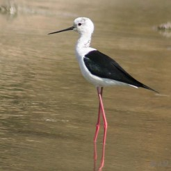 Black_winged_Stilt_cccccccccccccccc
