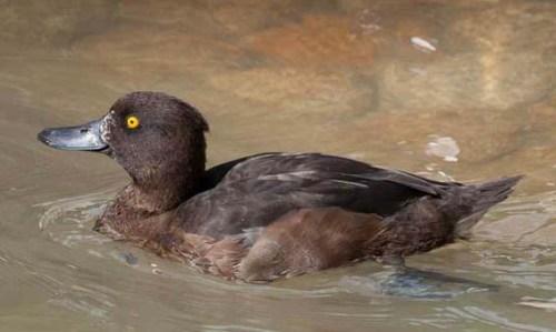 female-tufted-duck-xxxxxxxx