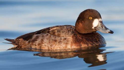 greater_scaup-hen-wave-xxxxxxx