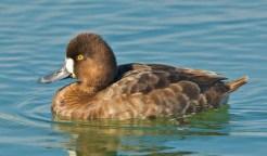 Lesser Scaup [Duck] (female) - Aythya affinis