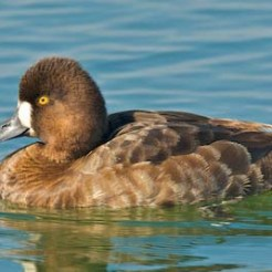 Lesser Scaup [Duck] (female) - Aythya affinis