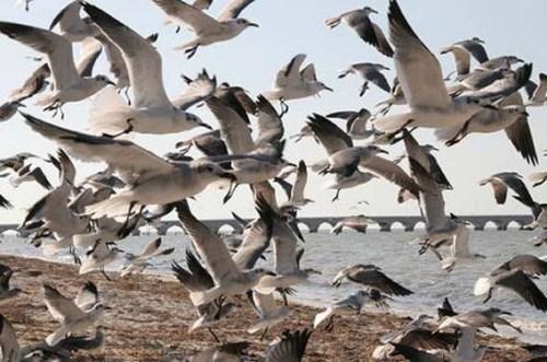 seagull-flock-jj zzzzzzzzzzz