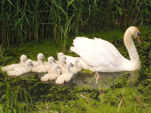 Swan_with_nine_cygnets_xxxxxxxxx