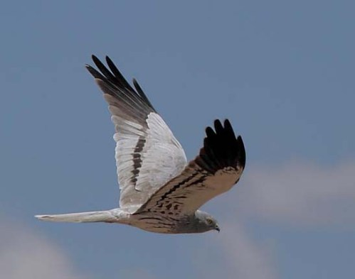 xxxxx montagus_Harrier_Serengeti_