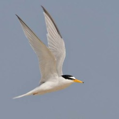 xxxxxxxx little tern 2