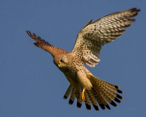 zzzzzzzCommon_kestrel_in_flight