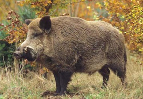 A wild boar in autumn forest
