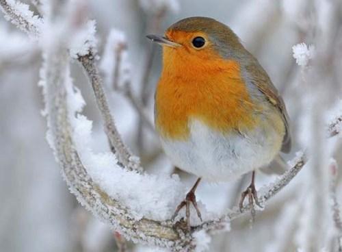 Robin-perched-zzzzzzzzz