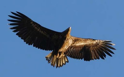 White-tailed%20Eagle flying zzzzzzzzzzzzzzz