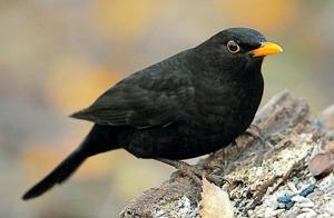 Blackbird-01