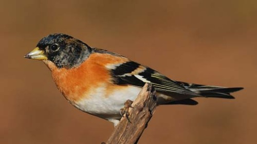 Brambling%20male zzzzzzzz