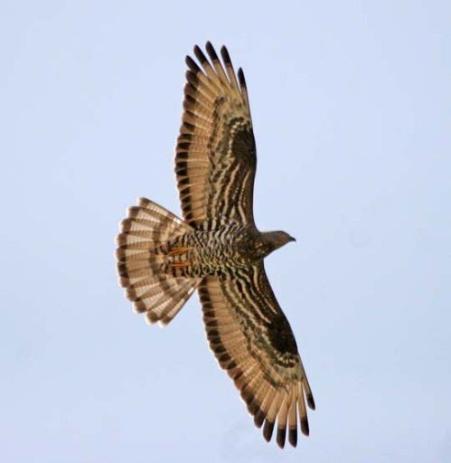 HoneyBuzzard xxxxxx