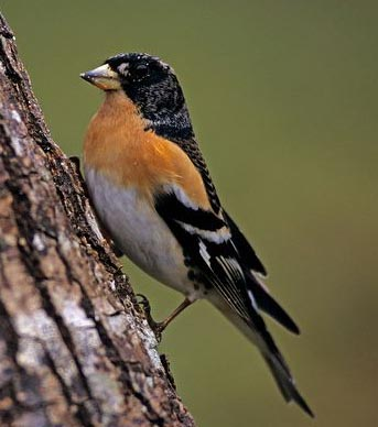 Male-brambling-on-a-tree-trunk xxxxxx