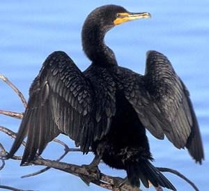 cormorant d xxxxxx