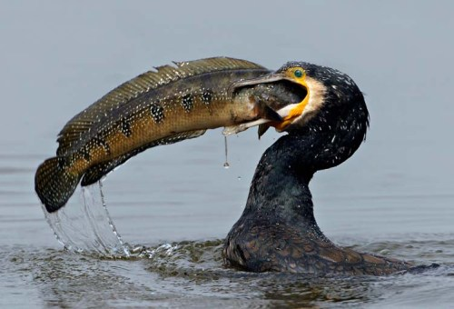 great-cormorant xxxxxxx