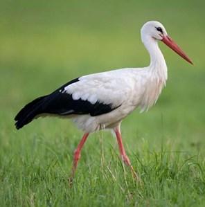 white-stork-113589 xxxxxxxxxxxxxxx