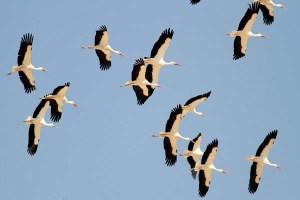 white-storks-flockxxxxxxxxxxxxxxxxxxxxx