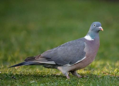 wood-pigeon-jlzzzzzzzzz