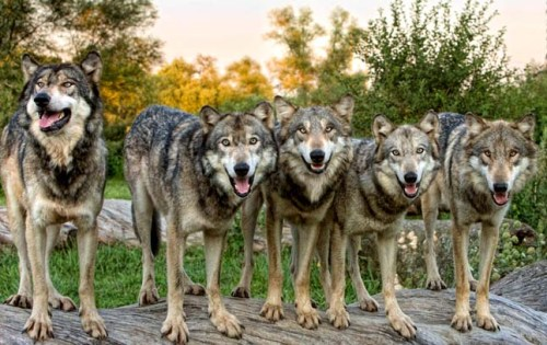 621166__the-wolf-pack_p