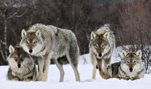 wolf pack one