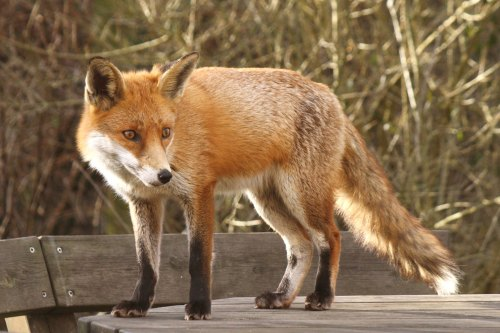 Fox_009