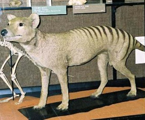 Thylacine-tring