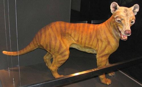 thylacineimg_1230