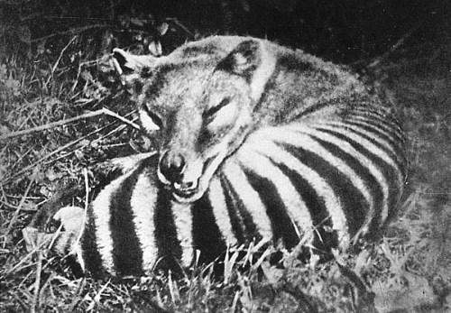 wild-thylacine-large