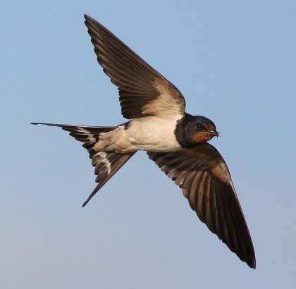 550px-Barn_Swallow