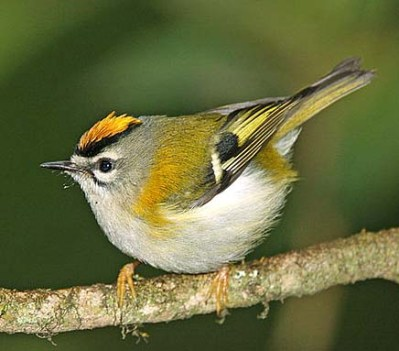 c608px-Mad-Firecrest-B
