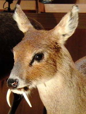 Chinese_water_deer_