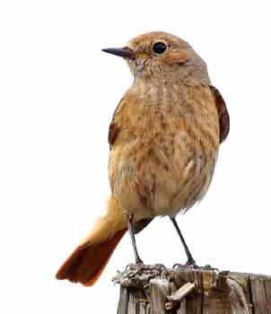Common_redstart_female