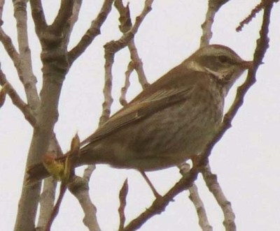 DuskyThrush2