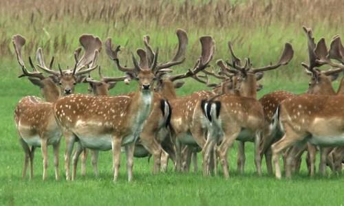 -fallow-deer-stag-herdxxxxxxxxxxxxxx
