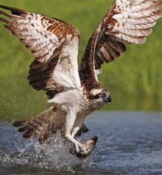 -fishing-osprey-xxxxxxxxxxxxxxxxxxxxxxxxxxxxxxxx
