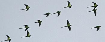 flock parakeete